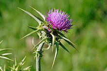 wikipedia_to_hdoc/hdoc_to_opale/tmp/decompressedHdoc/ressources/220px-Milk_thistle_flowerhead.jpg